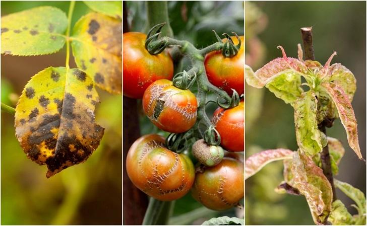 Common Plant Diseases