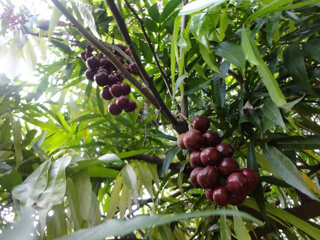 Buah-buahan yang Sesuai Ditanam di Rumah Anda